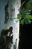 Bark of a plane tree